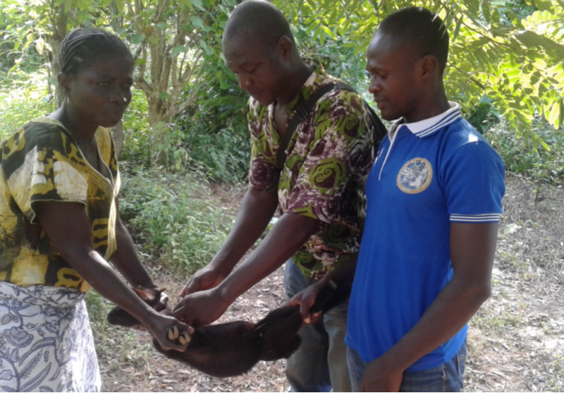 Free Vaccination of Goats and Sheep in Adadekrom Village 1