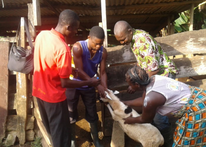 GIBICTS Mass Vaccination of Ruminants in Adadekrom Village